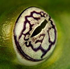 Centrolenella ilex #frogs #amphibians #herpetology