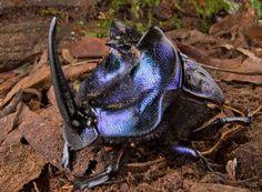 Besouro Horned  em Suriname também foram encontradas cópias de Coprophanaeus lancifer um besouro cornudo que pesa 6 gramas, azul e roxo metálico, usando seus chifres para lutar.