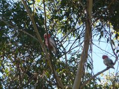 A couple of Galahs, Eolophus roseicapillus, a common Australian parrot with a rosy pink head.