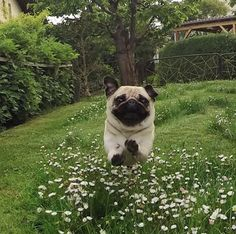 pugs can fly, they realy do Cute Pugs, Cute Puppies, Dogs And Puppies, Doggies, Terrier Puppies, Bulldog Puppies, Boston Terrier, Funny Dogs, Funny Animals