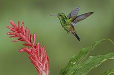 Tobago-Amazilie im Flug: 80 bis 100 Flügelschläge schafft ein Kolibri pro Sekunde.