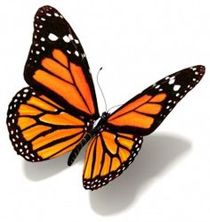Strategia BUTTERFLY Wings