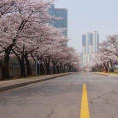 Si no has tenido la oportunidad de ver los Cherry Blossoms en persona y Corea del Sur está en tu lista de lugares para visitar, te recomiendo que vengas en el mes de Marzo/Abril. Además de qué serán las mejores temperaturas, va a tener los paisajes mas maravillosos. Me duele saber que el próximo año será mi tercera y última primavera aquí. Por mí la disfruto mil años más.  Visita Corea del Sur • • •  #cherryblossom #cherryblossoms ##seul #seúl #seoul #selfie #selfies #soyturista #southkor...