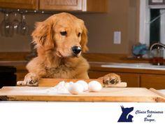 https://flic.kr/p/NkaQ6n | El huevo para los perros los perros CLÍNICA VETERINARIA DEL BOSQUE 2 | Si alimento con huevo a mi perro se le pondrá más bonito el pelo.  CLÍNICA VETERINARIA DEL BOSQUE Es falso, el huevo crudo contiene una sustancia que se llama avidina contenida en la clara, esta destruye a la biotina, una vitamina del complejo B. Alimenta a tu mascota con alimentos Premium, excelentemente balanceados para las necesidades de cada mascota dependiendo de su edad, tipo de…
