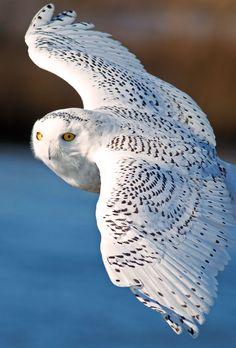Harfang des neiges en vol  // Snowy Owl -