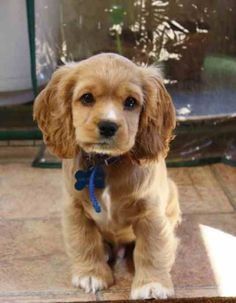 Isn't she cute? I want a cocker spaniel so badly!