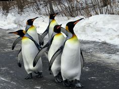 King Penguin Walk (by Penguin Walk, King Penguin, Beautiful Birds, Animals Beautiful, Cute Animals, Cute Penguins, Walking By, Science And Nature, Sea Creatures