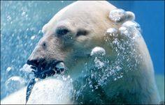 Inuka, the polar bear, catches a live fish at Singapore Zoo Singapore Zoo, Live Fish, Picture Day, Polar Bear, Animals, Animales, Animaux, Animal, Animais