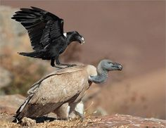 a White-necked Raven pestering a Cape Vulture - southern & eastern Africa