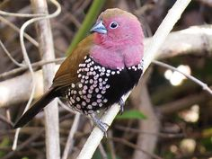 Pink-throated Twinspot (Hypargos margaritatus), Southern Africa