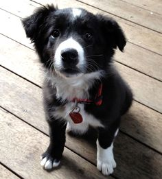 Border Collie pup