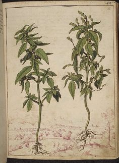Mercurialis annua, from De Materia Medica, a work on herbal medicine by Pedanius…