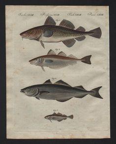 1800 Schellfisch Dorsch Torsk whitling Fisch fish Bertuch Kupferstich engraving | eBay