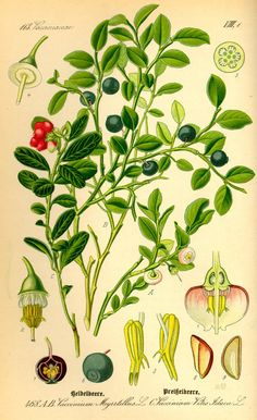 Blauwe bosbes - Vaccinium myrtillus