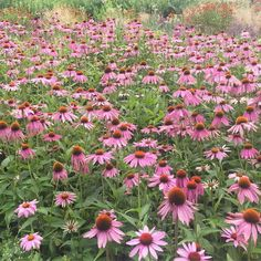 Sea of echinacea in one of my favourite central London parks: Potter's Fields. Have you been there? They also have single seat benches which are perfect for anti social types like me #londonparks