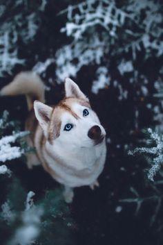 Siberian Husky sweetness! #SiberianHusky