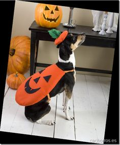 Disfraz de calabaza para perro.