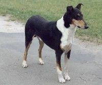 Smooth Collie dog photo | Collie (Smooth)