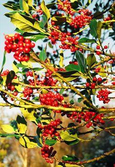 Holly - Ilex Aquifolium (Bare Root) Hedges, Coastal, Nursery, Gardening, Fruit, Plants, Baby Room, Lawn And Garden, Living Fence