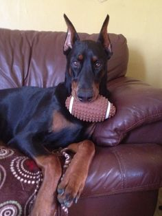 The Doberman Pinscher is among the most popular breed of dogs in the world. Known for its intelligence and loyalty, the Pinscher is both a police- favorite Doberman Shepherd, Doberman Pinscher Dog, Doberman Love, Yorky, Dogs And Puppies, Doggies, Toy Dogs, Beautiful Dogs, Mans Best Friend