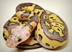 So pretty- pastel clown by Chesapeake Bay Ball Pythons.