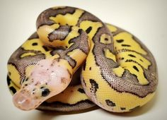 So pretty- pastel clown by Chesapeake Bay Ball Pythons.