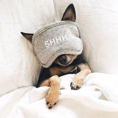 Chihuahua sleeping beauty                                                                                                                                                      More
