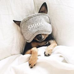 Chihuahua sleeping beauty