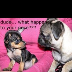 this is what my friends always ask my dog....pugs are stilll absolutely adorable!!