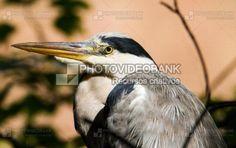 Garça-real close up | PHOTOVIDEOBANK pássaros selvagens na natureza, garças, pássaros grandes imagens foto de close up, por por Martin Ettlinger.