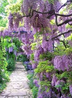 Wisteria drenched walkway. It grows only a few places in Canada.