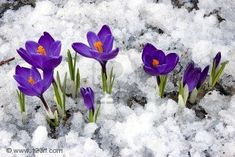 Google Image Result for http://panagonia.files.wordpress.com/2011/03/3936279-spring-crocus-flowers-blooming-through-the-melting-snow.jpg