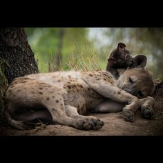 Photo by Scott Dyson. hyena don't deserve the horrible reputation that many people have of them! Look at how cute this scene is with a #cub chewing on its mothers ear!