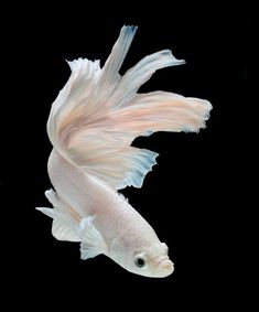 Siamese Fighting Fish – Betta – ID # 55451565 The Effective Pictures We Offer You About fresh water Tropical fish … Pretty Fish, Beautiful Fish, Animals Beautiful, Cute Animals, Beautiful Pictures, Colorful Fish, Tropical Fish, Fish Drawings, Beta Fish Drawing