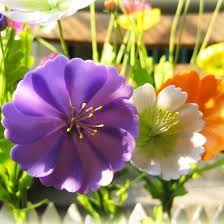 Image result for hoa sao