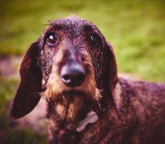 Der Hundeblick!  #hund #dog #augen #eyes #animal #pets #petstagram #petsofinstagram #dackel #dackelblick