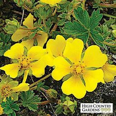 A tight low growing Potentilla, 'Nana' blooms in late spring with a flush of bright yellow flowers. It thrives in moist soils and is a great plant for mountain gardens.