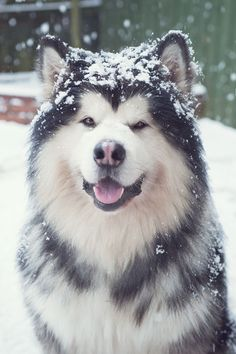 "Check out our web site for even more details on ""Siberian Husky dogs"""". It is an exceptional spot to find out more. Check out our web site for even more details on ""Siberian Husky dogs"""". It is an exceptional spot to find out more. Giant Alaskan Malamute, Malamute Husky, Alaskan Husky, Alaskan Malamute Puppies, Husky Dog, Big Dogs, Cute Dogs, Dogs And Puppies, Doggies"
