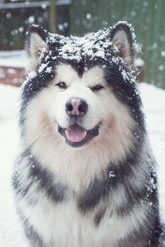 Alaskan Malamute Dogs http://tipsfordogs.info/90dogtrainingtips/