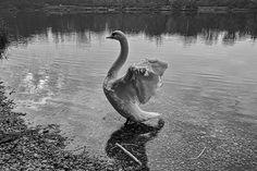Swan Swan, Explore, Black And White, Photography, Animals, Black White, Animais, Swans, Blanco Y Negro
