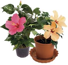 Ibišky | Chatař & Chalupář Hibiscus, Quilling, Flora, Gardening, Plants, Naturaleza, Liquor, Lawn And Garden, Plant