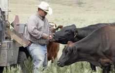 Cowboy Adam Waters hand-feeds a cow at Spring Creek Ranch in Greenwood County. Koch Industries is beginning to market a Japanese breed of cattle called Akaushi, considered by some to be superior to domestic breeds. The company is carefully expanding its herds on Spring Creek Ranch near Eureka as well as on ranches in Montana and Texas. (Aug. 30, 2011) Mike Hutmacher/The Wichita Eagle