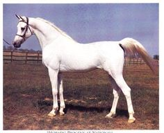 Morafic was one of the most important stallions in Egyptian Arabian breeding. Sired 260 foals. 1956-1974