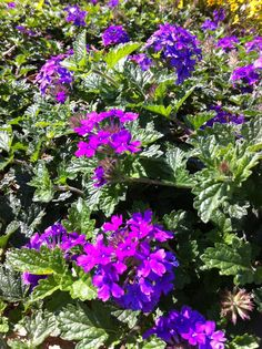 Purple passion flowers on the green charlotte nc photo by steve charlotte nc fall flowers photo by steve martin 091813 mightylinksfo