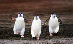 Chinstrap penguins walking.
