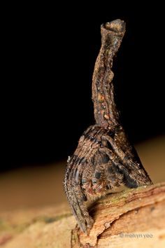 Tree stump spider by ~melvynyeo.    This is a nocturnal species and builds a web every evening. After a night of catching prey, it dismantles it's web in the morning and goes back to sit motionless with their legs tucked in, looking like nothing more than a broken branch nub.  http://melvynyeo.deviantart.com/art/Tree-stump-spider-301222930