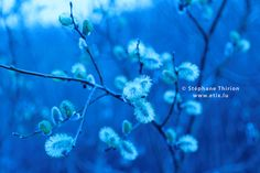 Open buds and blue tones / Bourgeons ouvert by Stéphane Thirion on 500px