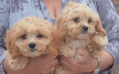 Little Malshi babies puppies for sale. Maltese