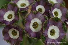 A closer look at the exquisite flowers of Primula auricula 'Crimple'.
