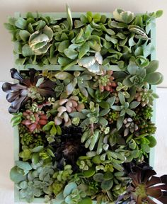 """Vertical Succulent Garden in a Beautiful Bamboo Box with a Pretty Sea Glass Colored Trim.  This Garden Measures 14""""x10""""."""